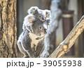 赤ちゃんコアラをおんぶする母コアラ 39055938