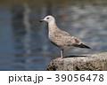 野鳥 鳥 カモメの写真 39056478