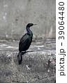 野鳥 鳥 港の写真 39064480