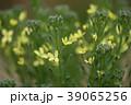 ブロッコリーの花 39065256