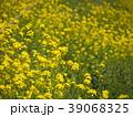 菜の花 39068325