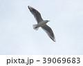 ユリカモメ (百合鴎) その20。 Black headed gull 39069683
