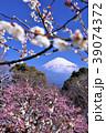 日本の早春 富士山と満開の梅 39074372