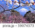 日本の早春 富士山と満開の梅 39074373