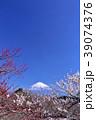 日本の早春 富士山と満開の梅 39074376