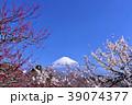 日本の早春 富士山と満開の梅 39074377