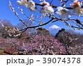 美しい春の梅と富士山 39074378