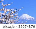 梅の花と富士山 39074379