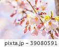 桜 開花 春の写真 39080591