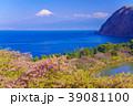 《静岡県》河津桜咲く西伊豆井田・海越しの富士山 39081100