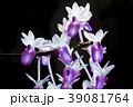 ミトラタ 洋蘭 紫色の写真 39081764