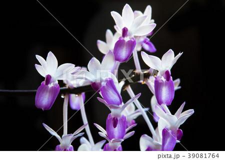 飛翔する妖精のような洋蘭 セイデンファデリア属 ミトラタ 39081764
