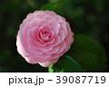 椿 花 ピンクの写真 39087719