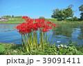 琵琶湖の彼岸花 39091411