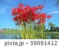 琵琶湖の彼岸花 39091412