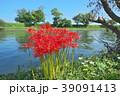 琵琶湖の彼岸花 39091413