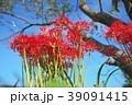 琵琶湖の彼岸花 39091415