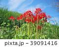 琵琶湖の彼岸花 39091416