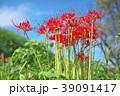 琵琶湖の彼岸花 39091417