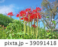 琵琶湖の彼岸花 39091418