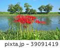琵琶湖の彼岸花 39091419