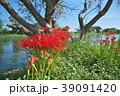 琵琶湖の彼岸花 39091420