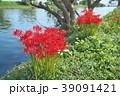 琵琶湖の彼岸花 39091421