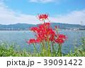 琵琶湖の彼岸花 39091422