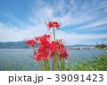 琵琶湖の彼岸花 39091423