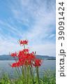 琵琶湖の彼岸花 39091424