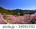 桑田山雪割桜 39091592