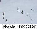 ユリカモメ (百合鴎) その21。 Black headed gull 39092395