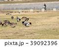 ヒドリガモ (緋鳥鴨) その5。 Eurasian Wigeon 39092396