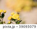 菊の花にとまっている小さなハエ 39093079