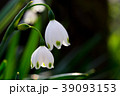 スノーフレーク 39093153