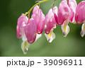 ケマンソウ タイツリソウ 花の写真 39096911