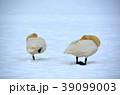 鳥類 白鳥 雪の写真 39099003