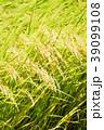 秋の稲 (9月) 39099108