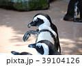 動物 ペンギン ケープペンギンの写真 39104126