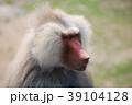 マントヒヒ 猿 ヒヒの写真 39104128