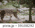 An adult snow leopard walks through its territory 39108292