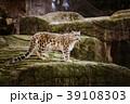 動物園 ヒョウ 豹の写真 39108303