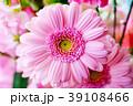 ガーベラ 花 植物の写真 39108466