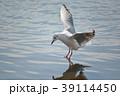 鴎 鳥 海鳥の写真 39114450