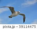 青空を飛ぶカモメ(ウミネコ) 39114475