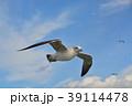 青空を飛ぶカモメ(ウミネコ) 39114478