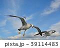 青空を飛ぶカモメ(ウミネコ) 39114483