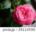 椿 植物 ピンクの写真 39114590