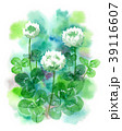 白詰草 花 植物のイラスト 39116607