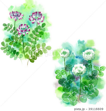 水彩で描いたシロツメクサとレンゲソウ 39116609